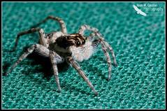 Araña Saltadora (Juan M Casillas) Tags: madrid macro insect spider iso200 wildlife araña jumpingspider leganés insecto f320 arañasaltadora speed1160 cameranikond300 focal1050mm35mm~1570mm lens1050mmf28 filenamedsc0470jpg