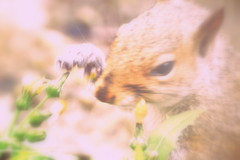 The Squirrel And The Dandelion (brennivin.) Tags: garden squirrel processed