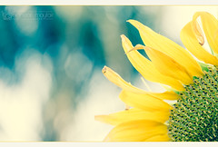 (SunflowerDiaries) JOY  (nighstar) Tags: flowers plants color nature canon garden colorful sigma faded sunflowers 5d lightroom markiii 150mm 15028 5dmk3 5d3