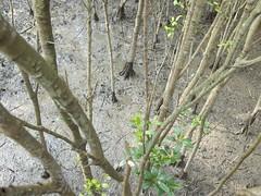 mangroves (firstklassriot) Tags: digital roc mud taiwan olympus mangroves tamsui ep3