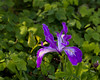 IMG_1088.jpg (mccar66) Tags: iris plants flower todraw