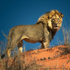 The Lion King (Ania.Photography - busy) Tags: travel color nature animal cat southafrica king desert leo wildlife dunes lion bluesky wilderness majestic kalahari lew specanimal lionmale animaltheme natureoutpost