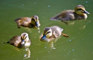 Spot-billed Ducklings In Spring Pond
