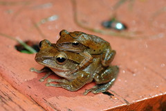 DSC_9022 (kentsang66) Tags: frog mating browntreefrog 斑腿泛樹蛙