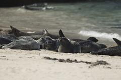Seals at La Jolla (Kyle D Adams) Tags: ocean california ca beach canon eos la pacific 300mm seal jolla f4l 5dmkii