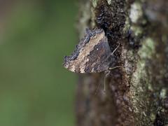 Nymphalis xanthomelas (Polotaro) Tags: nature pen butterfly bug insect olympus  zuiko ep1       gzuiko50mmf14