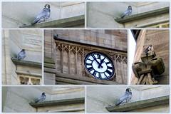 Peregrine Falcons in Sheffield. (Mike-Lee) Tags: birds collage sheffield picasa falcon peregrinefalcon sheffielduni pererine brirdsofprey