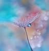 Silver Rain.. (Juliana Nan) Tags: blue water beauty nikon waterdrop drop dandelion flickrsfinestimages1