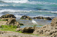 ShoshanaBeach_2336_140329 (Savyoney Eitan) Tags: sea fish bird beach egret littleegret חוף ציפור דג לבניתקטנה לבנית