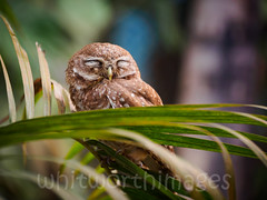 Spotted Owlet (whitworth images) Tags: travel nepal sleeping wild tree cute bird animal garden outdoors leaf asia wildlife small feathers palm frond owl perched spotted asleep chitwan avian sauraha owlet spottedowlet athenebrama