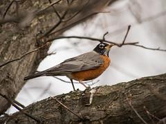 Imperious (C-Towner) Tags: park ohio bird robin dof olympus tele lakewood omd em5 ctowner panasonic100300mm