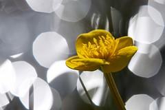 Marsh Marigold (Rein Teune) Tags: flower netherlands yellow terschelling bokeh nederland marsh geel marigold bloem dotterbloem