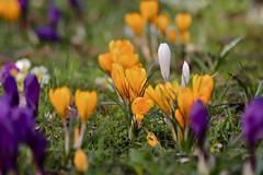 CA4A4119 (janoschg) Tags: flower germany stuttgart blume krokus badenwrttemberg canoneos5dmarkiii canon5dmarkiii stuttgart2016 stuttgartmrz2016