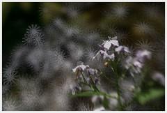 starlike perception (i.v.a.n.k.a) Tags: flowers bokeh fantasy sonyalpha ivanahesova ivanadorn