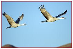 Sandhill Crane (biggaron) Tags: nm bosquedelapache sandhillcranes gruscanadensis festivalofthecranes socorroco 20141121eos7dimg5790