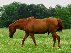 Tennessee Stallion (Hawai'i Naturalist) Tags: ranch horse farm tennessee country stallion