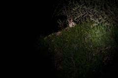 Al acecho (trebol_a) Tags: nocturna muela mamiferos linterna lironcareto