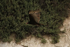 IMG_4573 (californiajbroad) Tags: bird nature turkey outdoors wildlife vulture