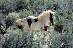 WILD THING ... you make my heart sing ... you know I love you (Aspenbreeze) Tags: horses horse rural wildlife country wildanimal stallion wildhorse painthorse blueeyedhorse coloradowildlife pintohorse aspenbreeze moonandbackphotography bevzuerlein sandwashbasinhorsemanagementarea