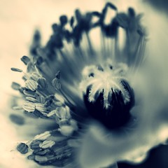 poppy^2 (nolleone--Nol, like Christmas) Tags: blue monochrome closeup petals poppy creamy flowercenter poppysquared