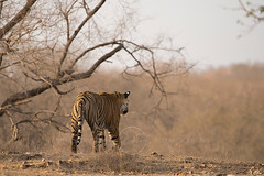 ADS_0000104224 (dickysingh) Tags: wildlife tiger tigers ranthambore indianwildlife ranthambhorenationalpark