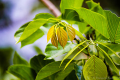 Tender Leaves (Kumaravel) Tags: trees brown india texture nature yellow closeup leaf nikon dof bokeh chennai umber kumar yellowochre kumaravel d3100