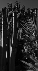 Severe Sentries (MPnormaleye) Tags: arizona cactus bw plants southwest nature contrast cacti garden dark desert natural filter utata agave 24mm shrub succulents