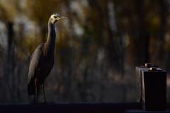 White-faced Heron (Luke6876) Tags: lighting bird heron animal wildlife depthoffield whitefacedheron australianwildlife