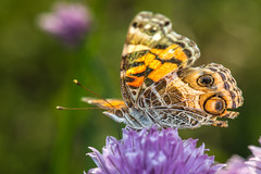 Painted Lady Butterfly (Scott Michaels) Tags: macro nikon kirk paintedlady d600 nikon105mmvr sc28 sb700 kirkmacrobracket