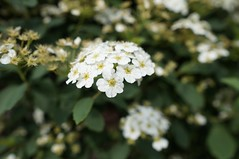 White blossom (Z!SL) Tags: newyorkcity flowers urban newyork flower brooklyn flora dof bokeh sony depthoffield sonnar mirrorless bokehwhores sonyphotographing emount minoltaemount sel24f18z sel24f18za sel24f18 sonnarte1824 sonyflickraward nex5r sonnar2418za self24f18