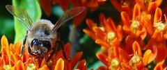 bee on butterflyweed3 sooc (Martin LaBar) Tags: orange macro ngc southcarolina bee apocynaceae apis hymenoptera butterflyweed asclepiastuberosa pickenscounty