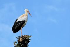 La cicogna (Guido Andolfato) Tags: nido friuli uccello fagagna cicogna nikond300 vrzoom70300mmf4556gifed oasinaturalistiadeiquadris