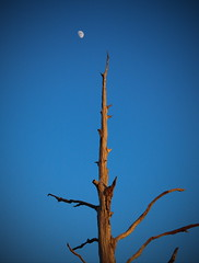 Minimalism (mru24) Tags: travel sky moon tree canon dead photography yorkshire dried minimalism doncaster 40d