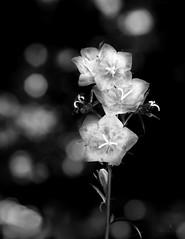 Flower Power (hector_cbs) Tags: light blackandwhite naturaleza flores flower luz nature monochrome blackwhite power natural bokeh flor natura stamens flowerpower estambres