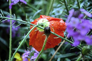 The Poppy in the rain ...
