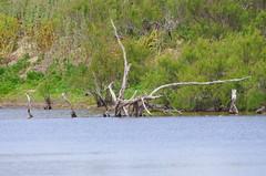 le de R 125 - des arbres morts dans la Rserve Naturelle de Lilleau des Niges (paspog) Tags: france island insel r le deadtrees leder rservenaturelle arbresmorts rservenaturelledelilleaudesniges