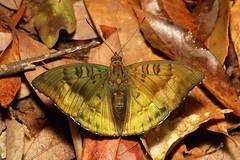 Bronze Duke (Euthalia nara, Nymphalidae), male (John Horstman (itchydogimages, SINOBUG)) Tags: china macro topf25 butterfly insect topf50 duke lepidoptera yunnan tweet nymphalidae itchydogimages sinobug