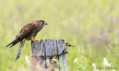 Kestrel-2 (Falco tinnunculus) (Ron Fullelove) Tags: field photography wire post barbed britishwildlife kestrel birdofprey tinnunculus bif falco englanduk britishbirds ronfullelove