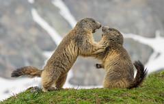 Discussione animata (Explored) (marypink) Tags: alps marmot mammalia rodentia marmotte sciuridae marmotamarmota parconazionalegranparadiso ceresolereale marmotini xerinae nikkor80400mmf4556 nikond7200