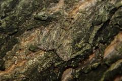 Mimicry (Marcell Krpti) Tags: hungary moth lepidoptera noctuidae noctuinae mimicry pszt polyphaenissericata guernseyunderwing nationalmothweek selyemfnybagoly