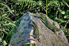 Una feliz parejita de lagartos ocelados... (Leo ) Tags: naturaleza primavera sol pareja galicia lagarto roca  lacertalepida ocelado