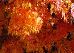 Well done. (Snuva) Tags: autumn tree japanesemaple