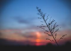 soft (Lucrecia Carosi) Tags: naturaleza santafe argentina azul contraluz atardecer 50mm pasto cielo campo esperanza airelibre luznatural suncet