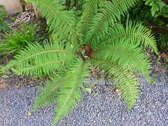 Polystichum setiferum (Jrg Paul Kaspari) Tags: fern juni grau grn farn basalt trier petrisberg polystichum 2016 anthrazit polystichumsetiferum setiferum schildfarn basaltsplitt