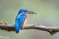 Kingfisher (Birds Of Amsterdam) Tags: blue orange nature amsterdam birds kingfisher alcedo ijsvogel atthis eisvogel
