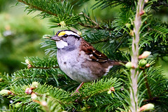 White-throated Sparrow, Big Northern Pond (frank.king2014) Tags: ca canada whitethroatedsparrow baybulls newfoundlandandlabrador