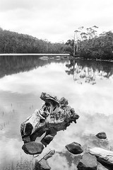 In Tasmania: Lake Dobson, Mt Field National Park (Milo R.) Tags: leica tree film analog 35mm jungle tasmania f2 idyll prehistoric m6 leicam6 mtfield auatralia