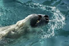 snorkel-saurus (ucumari photography) Tags: bear water animal mammal zoo oso march nc teeth north polarbear carolina nikita eisbr ursusmaritimus oursblanc 2016 osopolar ourspolaire orsopolare specanimal dsc2230 ucumariphotography sbjrn