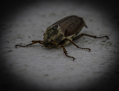 Cockchafer Beetle (IAN GARDNER PHOTOGRAPHY) Tags: food bug insect beetle escarabajo pest kfer kever doodlebug maybeetle cockchafer scarabe melolontha scarabaeidae scarafaggio skalbagge maybug  coleopteran fifthtrick jichng