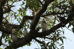 Laughing Kookaburras (Ne_Obliviscaris) Tags: birds laughing australia brisbane queensland backyards kookaburra dacelo novaeguineae